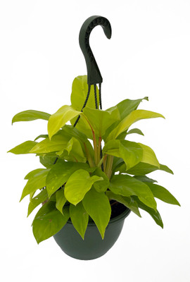 """Upright Lemon Lime Philodendron - Easy to Grow - 8"""" Hanging Basket - Trending"""