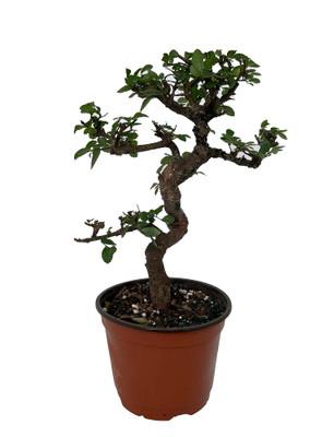 "Stylized Japanese Zelkova Bonsai Tree - 6"" Pot"