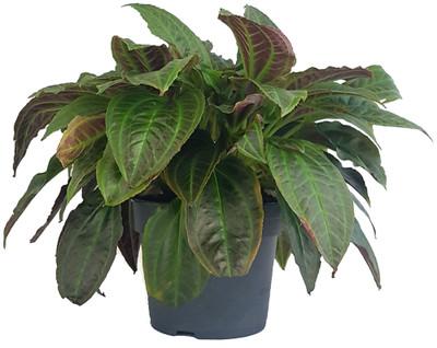 """Rare Monolena Primuliflora - Ant Plant - Collector's Series - 6"""" Pot"""