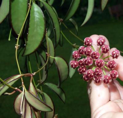 "Wyatt Wax Plant - Hoya wayetii Green - 2.5"" Pot"