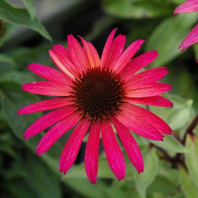 "Big Sky™ Solar Flare Coneflower Perennial - Echinacea - Live Plant - 4"" Pot"