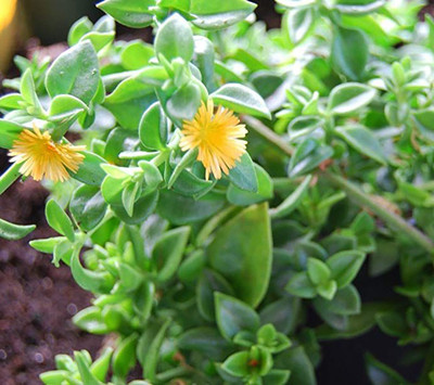 "Baby Gold Sunrose Plant - Aptenia cordifolia - Succulent - 2.5"" Pot"