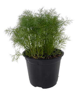 """Fernleaf Dill Herb Plant - 6"""" Pot - Compact Growth"""