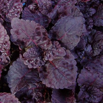 "Black Star Solenostemon/Coleus - 2.5"" Pot - Easy to Grow"