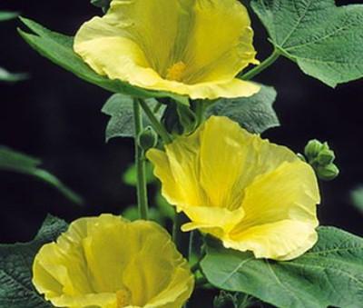 """Spotlight™ Sunshine Hollyhock - Perennial - Alcea - 3"""" Pot"""