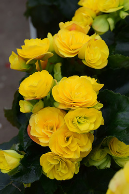 "Blitz Yellow Begonia Plant - 4"" Mini Hanging Basket - Easy Blooming House Plant"