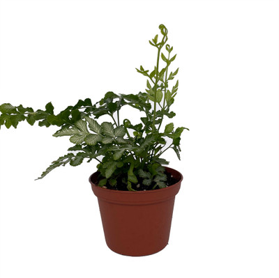 """Silver Lace Table Fern - Pteris ensiformis - 2.5"""" Pot - Easy to Grow!"""