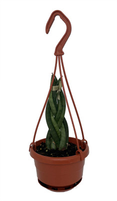 """Dragon Fingers Braided Snake Plant -Impossible to Kill! - 4"""" Mini Hanging Basket"""