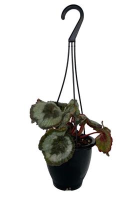 """Escargot Rex Begonia Plant - 4.5"""" Black Hanging Basket - Great Houseplant"""