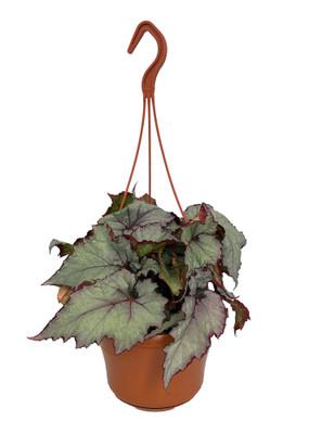 "Shade Angel Pearl Rex Begonia Plant - 6"" Hanging Basket - Great Houseplant"