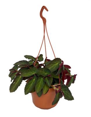 "Brazilian Lady Angel Wing Begonia - 6"" Hanging Basket - Great House Plant"