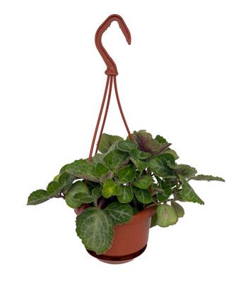 """Emerald Lace Swedish Ivy Plant-Plectranthus oertendahlii- 4"""" Mini Hanging Basket"""