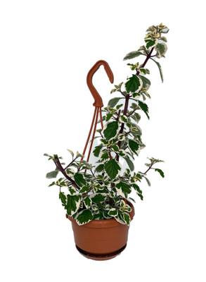 """Rare Kandy Kisses Plant - Hemizygia - 4"""" Mini Hanging Basket"""