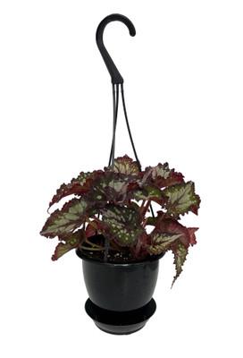 "Curly Chocolate Rex Begonia Plant - 4.5"" Black Hanging Basket - Great Houseplant"