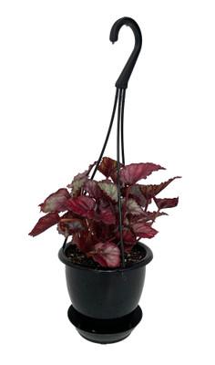 """Red Bull Rex Begonia Plant - 4.5"""" Black Hanging Basket - Great Houseplant"""