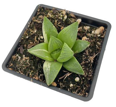"Variegated Windowpane Succulent Plant - Haworthia retusa Variegata - 2.5"" Pot"