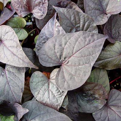 "Ace of Spades Sweet Potato Vine - Ipomoea - 2.5"" Pot - Ornamental and Edible"