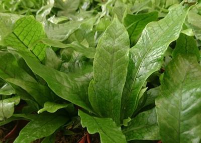 "Rare Crocodile/Snakeskin Fern Plant - Great House Plant! 4"" Pot"