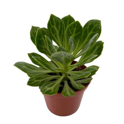 "Amke Succulent Plant - Senecio obovatus - RARE - 2.5"" Pot"