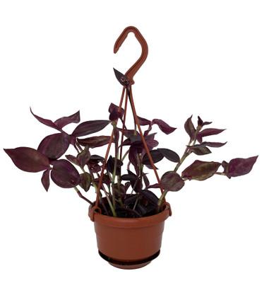 "Burgundy Wandering Jew - 4"" Mini Hanging Basket - Easy to Grow House Plant"