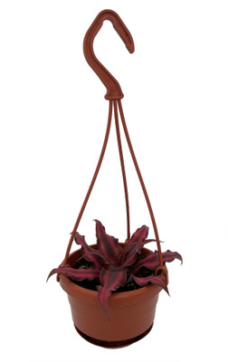 """Fire Mystic Red Earth Star Plant - Cryptanthus - 4"""" Mini Hanging Basket"""
