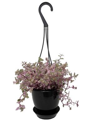 "Pink Lady Bolivian Jewel - Callisia repens - 4.5"" Black Hanging Basket"