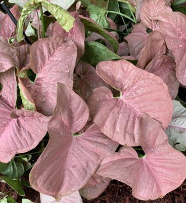 "Neon Robusta Arrowhead Plant - Syngonium/Nepthytis - Rosey Mauve Pink - 2.5"" Pot"
