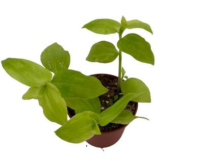 "Gold Wing Tradescantia - 2.5"" Pot - Easy to Grow House Plant"