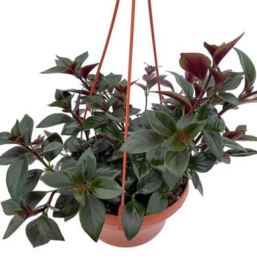"Goldfish Plant - Nematanthus X Hybrid - 6"" Hanging Basket - Blooms Frequently"