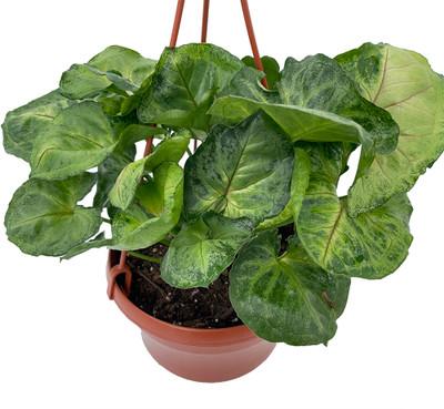 "Bold Allusion Arrowhead Plant - Syngonium/Nepthytis - 6"" Hanging Basket"