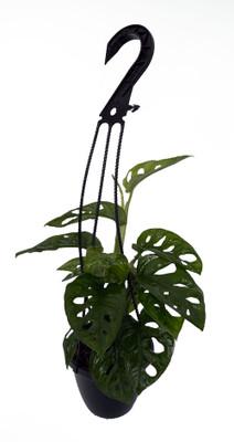 "Swiss Cheese Plant - Monstera adansonii - 4"" Hanging Basket"