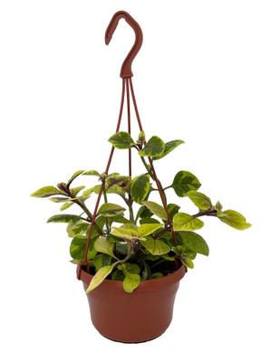"Guacamole Swedish Ivy Plant - Plectranthus - 6"" Hanging Basket"