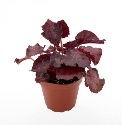 "Black Beauty Rex Begonia Plant - 4"" Pot - Great Houseplant"