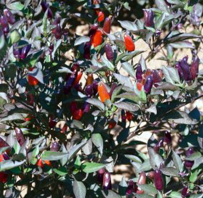 Black Olive Hot Pepper 10 Seeds - Ornamental and Edible