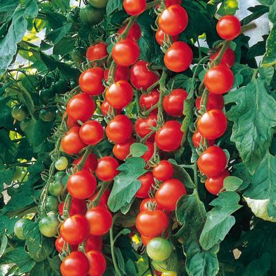 "Organic Gardeners Delight Cherry Tomato Plant - 3.5"" Pot - Heirloom"