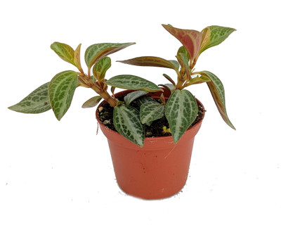 """Silver and Red Peperomia trinervis - 2"""" Pot - Easy to Grow"""