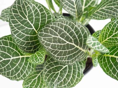 """White Vein Nerve Plant - Fittonia - 2.5"""" Pot"""