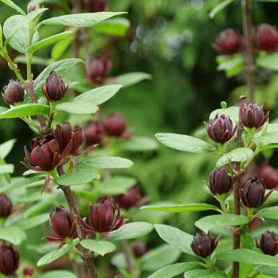 """SIMPLY SCENTSATIONAL® Sweetshrub - Calycanthus - Proven Winners - 4"""" Pot"""