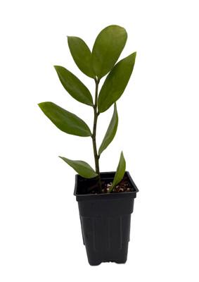 """Rare ZZ Plant - Zamioculcas zamiifolia - 2.5"""" Pot"""
