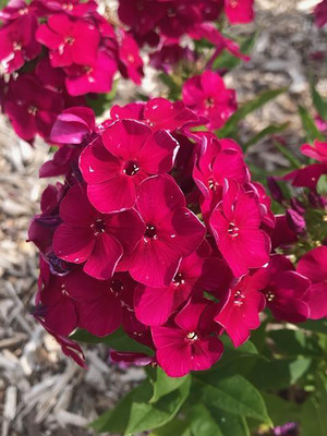 Bambini® Cherry Crush Dwarf Phlox - Gallon Pot - Hardy Perennial