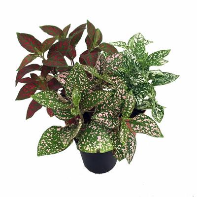 "Splash Polka Dot Terrarium & Fairy Garden Plants - Hypoestes-3 Plants in 4"" pots"