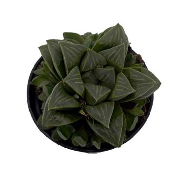 "Green Giant Haworthia retusa - 2.5"" Pot - Collector's Series"