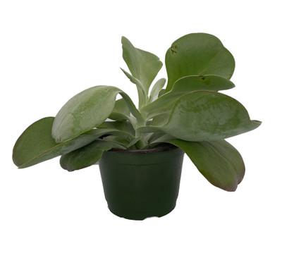 "Flapjacks Plant - Kalanchoe luciae - 6"" Pot - Easy to Grow Succulent"