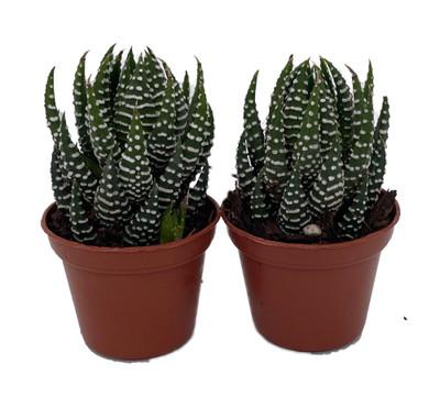 """Ibrida Haworthia - 2 Plants in 2"""" Pots - Haworthia fasciata Ibrida"""