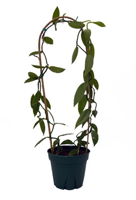 "Green Vanilla Bean Orchid Plant With Trellis - 8"" pot"