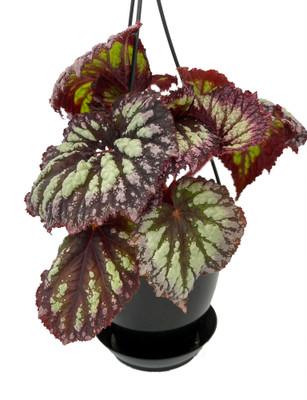 "Fireworks Rex Begonia Plant - 4.5"" Black Hanging Basket - Great Houseplant"