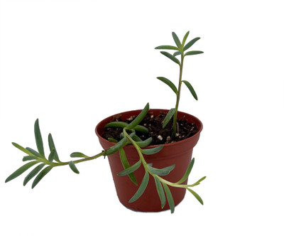"Clone K String of Bananas Succulent - Senecio radicans - 2.5"" Pot"
