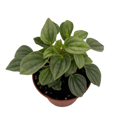 "Napoli Nights Peperomia - 2.5"" Pot  - Easy to Grow Houseplant"