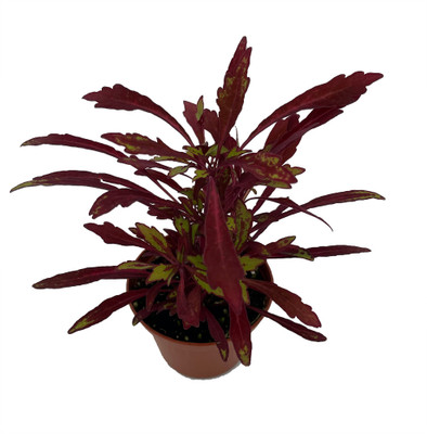 """Sea Urchin Red - Solenostemon - Bold House Plant - 2.5"""" Pot"""