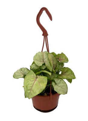 "Berry Allusion Arrowhead Plant - Syngonium/Nepthytis - 4"" Mini Hanging Basket"